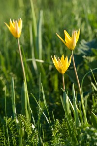 Тюльпан Биберштейна (Tulipa Bibersteiniana) - урочище Данки. Фото А.Куличенко