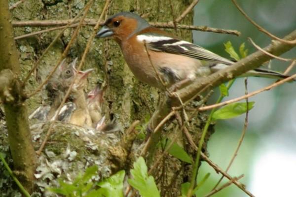 Зяблик у гнезда. Фото а.Куличенко
