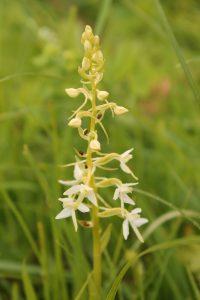 Любка двулистная Platanthera bifolia
