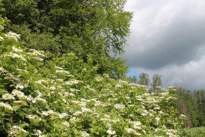 Массовое цветение калины