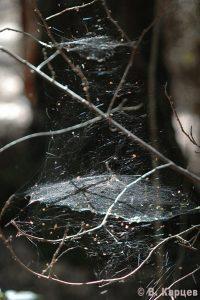Фото2_Сеть паука-линифииды (2)