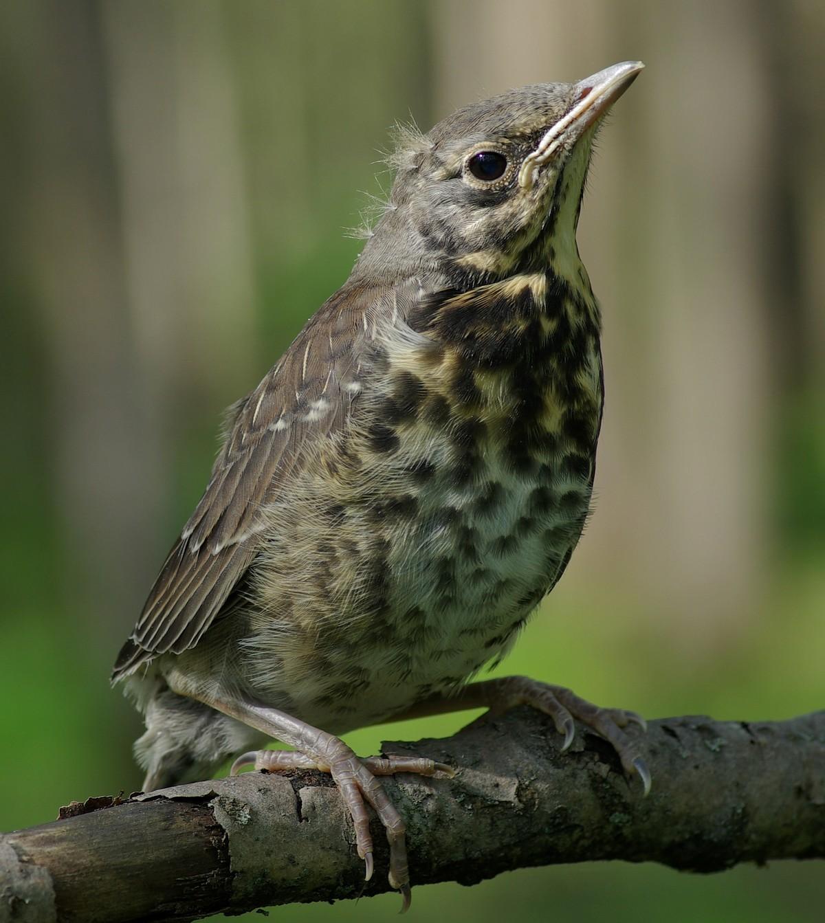 утверждают птица дрозд фото и описание получаются типовыми, но