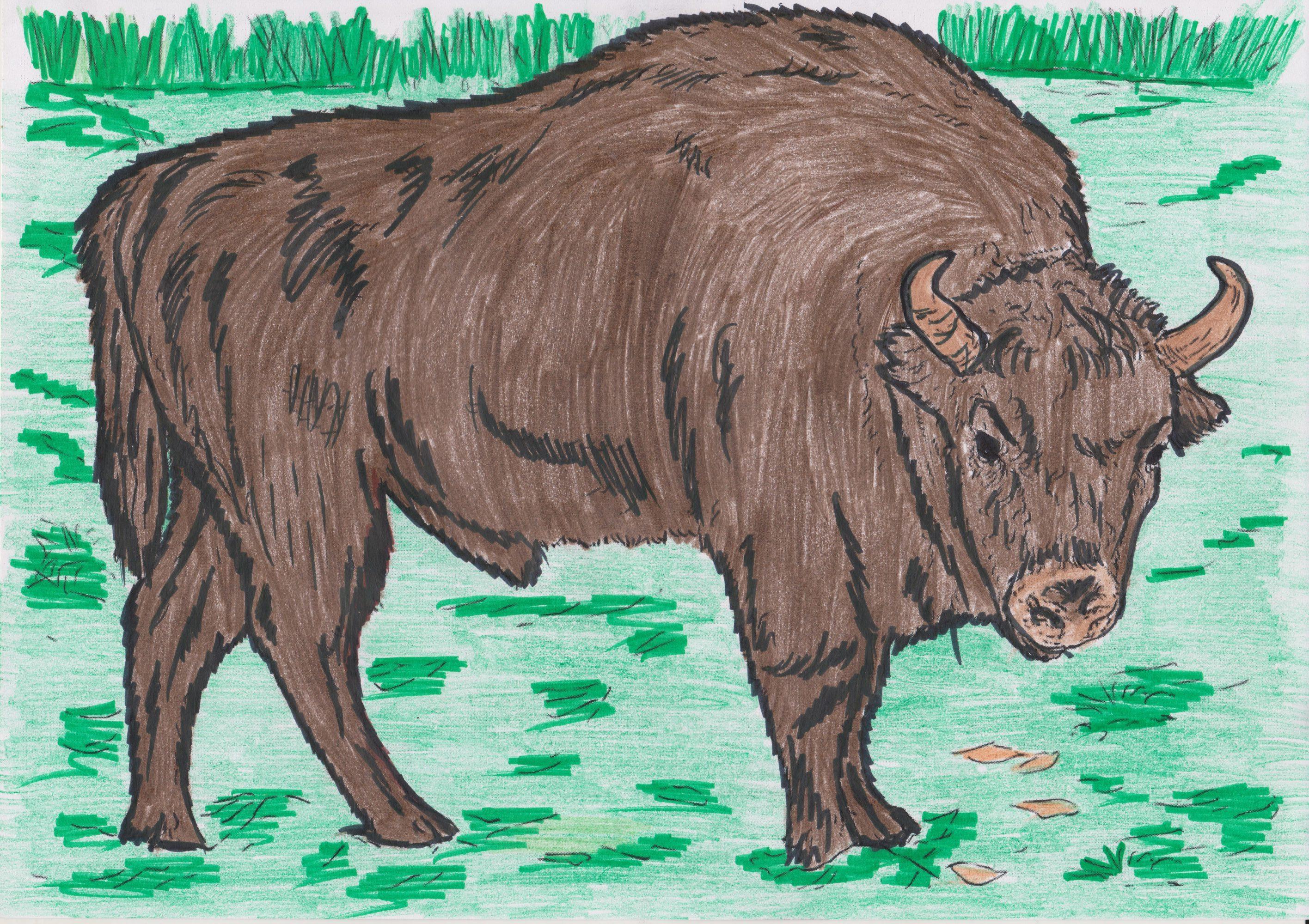 Животные красной книги россии зубр рисунок