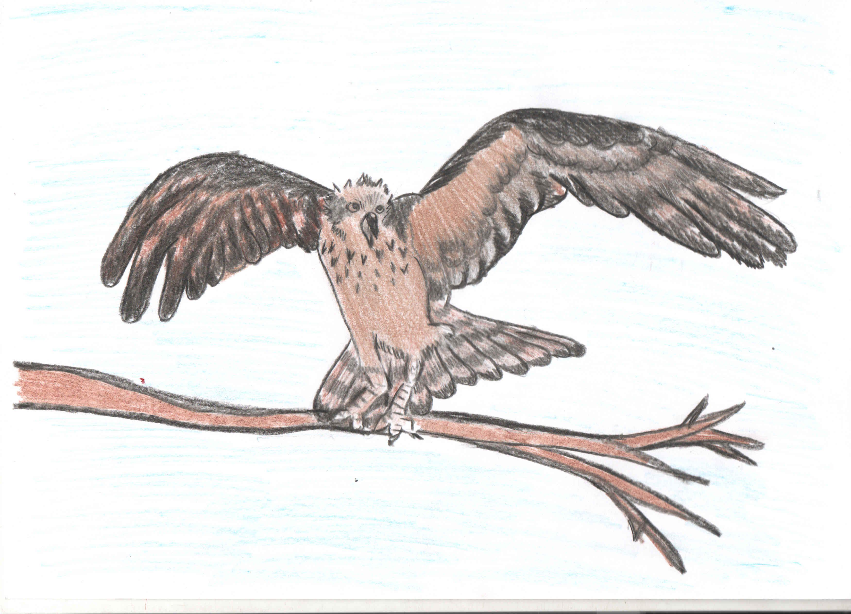 Скопа птица рисунок